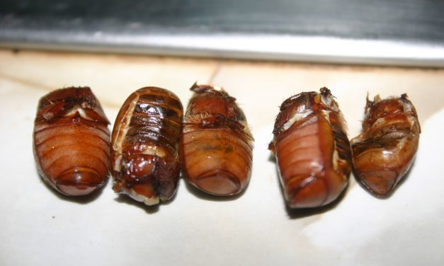 Fried Beetles – A Popcorn Substitute